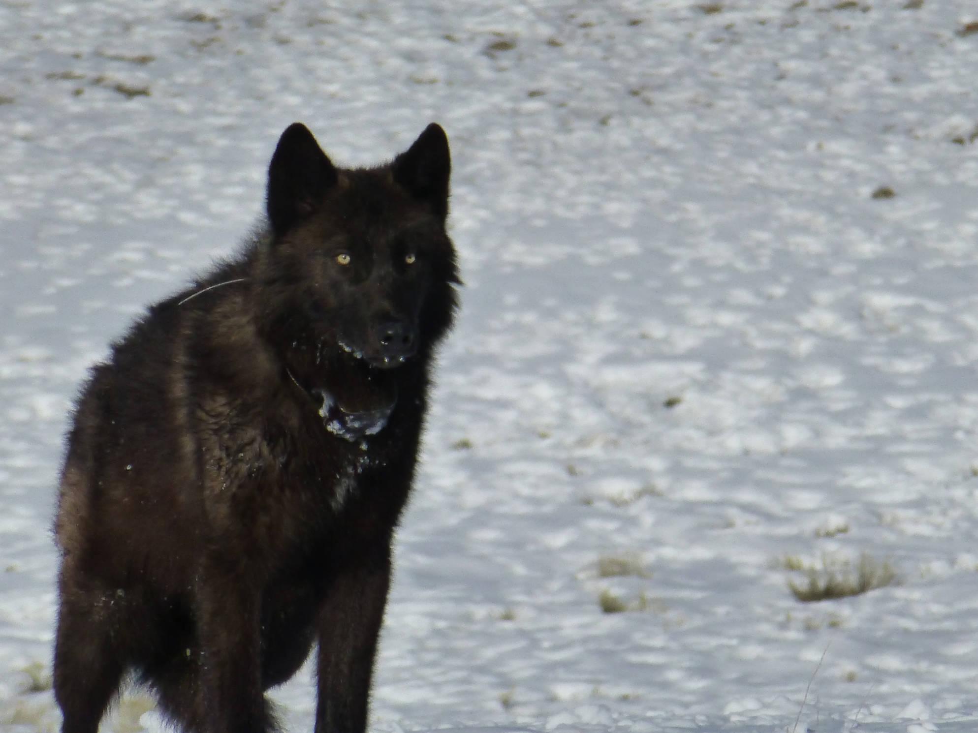 Black_wolf_pup